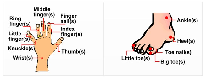 Ilutrasi bagian tangan dan kaki manusia